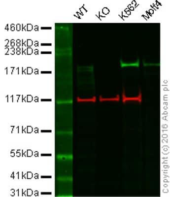 Western blot - Anti-BRG1 antibody [EPNCIR111A] (ab110641)
