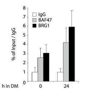 ChIP - Anti-BRG1 antibody [EPNCIR111A] (ab110641)