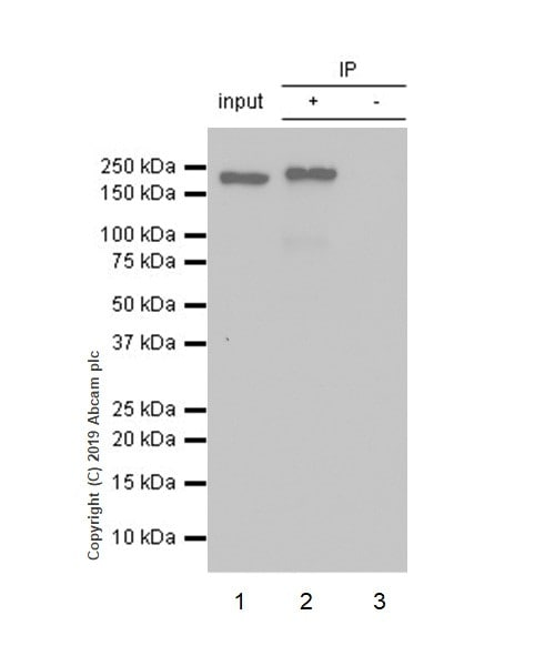Immunoprecipitation - Anti-BRG1 antibody [EPNCIR111A] (ab110641)