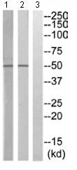 Western blot - Anti-KIR2.3/HIR antibody (ab110701)