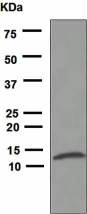 Western blot - Anti-IL-8 antibody [EPR1116(2)] (ab110727)