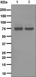 Western blot - Anti-PKC theta/PRKCQ antibody [EPR1487(2)] (ab110728)