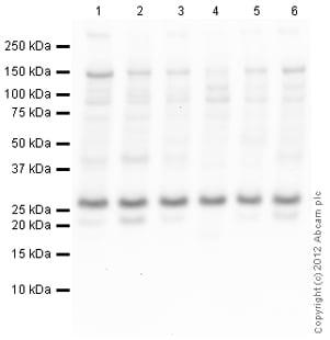 Western blot - Anti-MED10 antibody (ab110786)