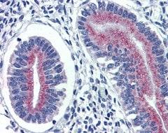 Immunohistochemistry (Formalin/PFA-fixed paraffin-embedded sections) - Anti-Cortisol Binding Globulin antibody (ab111075)