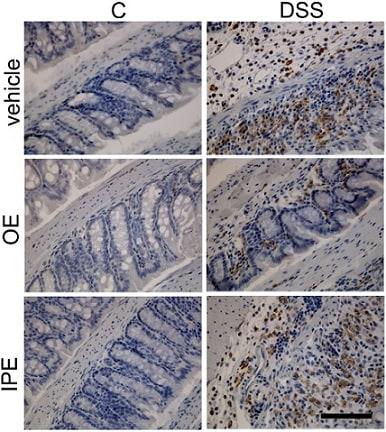 Immunohistochemistry (Formalin/PFA-fixed paraffin-embedded sections) - Anti-F4/80 antibody [SP115] (ab111101)