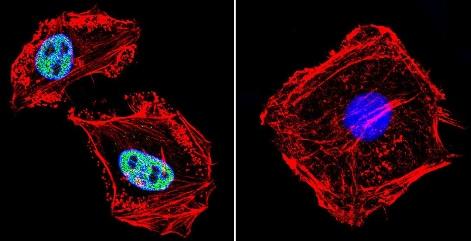 Immunocytochemistry/ Immunofluorescence - Anti-RPA32/RPA2 antibody [MA34] (ab111161)