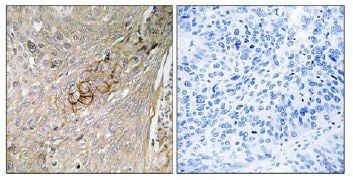 Immunohistochemistry (Formalin/PFA-fixed paraffin-embedded sections) - Anti-Slc6a6/Taut antibody (ab111167)