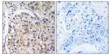 Immunohistochemistry (Formalin/PFA-fixed paraffin-embedded sections) - Anti-GPCR GPR116 antibody (ab111169)