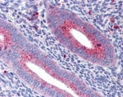 Immunohistochemistry (Formalin/PFA-fixed paraffin-embedded sections) - Anti-Mitofusin 1 antibody (ab111271)