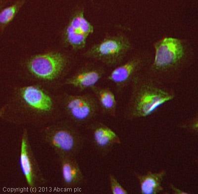 Immunocytochemistry/ Immunofluorescence - Anti-Cytokeratin 15 antibody (ab111448)