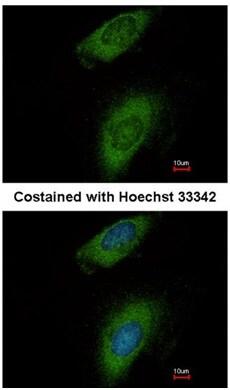 Immunocytochemistry/ Immunofluorescence - Anti-Annexin-8/ANXA8 antibody (ab111708)