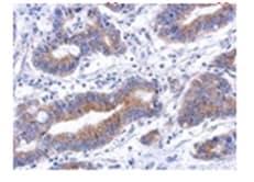 Immunohistochemistry (Formalin/PFA-fixed paraffin-embedded sections) - Anti-Annexin-8/ANXA8 antibody (ab111708)