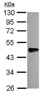 Western blot - Anti-OLFML3 antibody (ab111712)