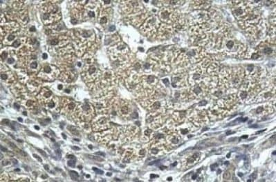 Immunohistochemistry (Formalin/PFA-fixed paraffin-embedded sections) - Anti-PRD antibody (ab111851)