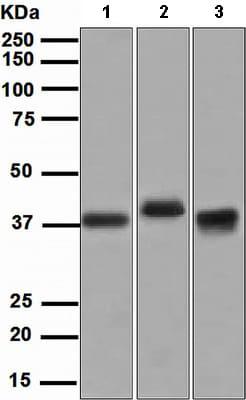Western blot - Anti-GST antibody [EPR4236] (ab111947)