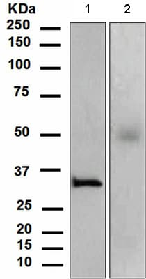 Western blot - Anti-Orai1 antibody [EPR3394(2)] (ab111960)