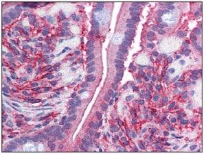 Immunohistochemistry (Formalin/PFA-fixed paraffin-embedded sections) - Anti-Cytochrome b reductase 1 antibody (ab111997)