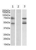 Western blot - Anti-ASNSD1 antibody (ab112523)