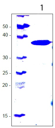 SDS-PAGE - Recombinant Human KRIT1 protein (ab113196)