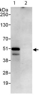 Immunoprecipitation - Anti-PEX14 antibody (ab113286)