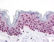 Immunohistochemistry (Formalin/PFA-fixed paraffin-embedded sections) - Anti-Cdc27 antibody (ab113361)