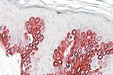 Immunohistochemistry (Formalin/PFA-fixed paraffin-embedded sections) - Anti-SIRT1 antibody (ab113426)