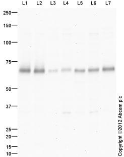 Western blot - Anti-SYT2 antibody (ab113545)