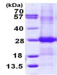 SDS-PAGE - Recombinant Human Ephrin B2 protein (ab113609)