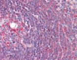 Immunohistochemistry (Formalin/PFA-fixed paraffin-embedded sections) - Anti-Cyp26B1 antibody (ab113640)