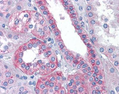 Immunohistochemistry (Formalin/PFA-fixed paraffin-embedded sections) - Anti-Flotillin 2/ESA antibody (ab113661)