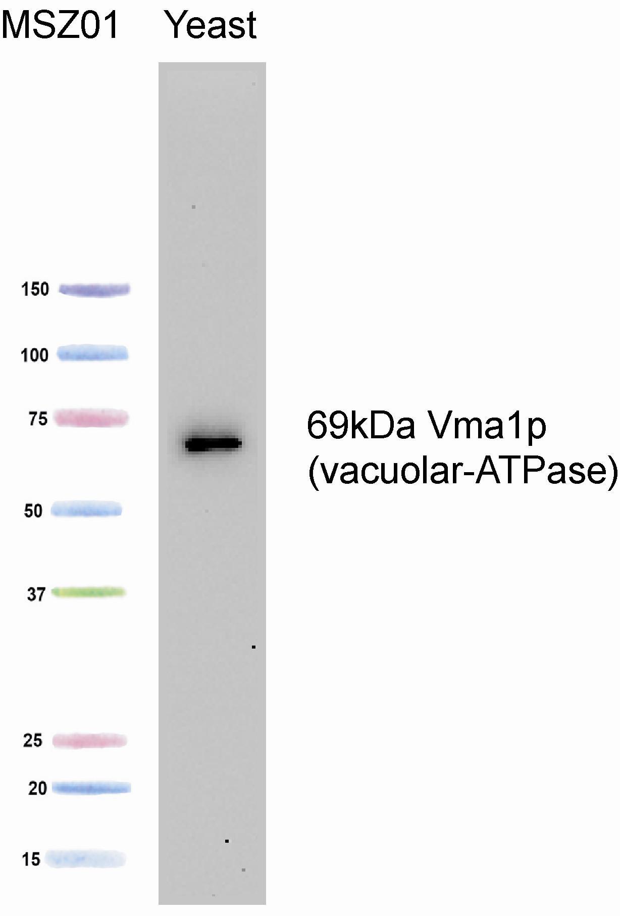 Western blot - Anti-ATP6V1A antibody [8B1F3] (ab113745)