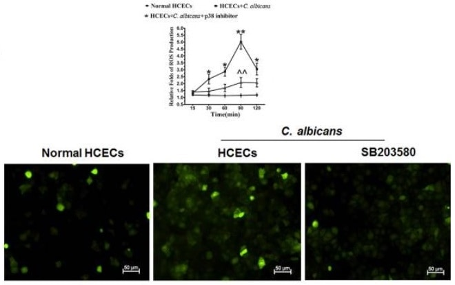 p38 MAPK pathway involved in oxidative injury to HCECs challenged with C. albicans.