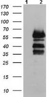 Western blot - Anti-VASP antibody [OTI1H8] (ab114029)