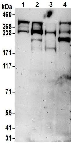 Western blot - Anti-CHD8 antibody (ab114126)