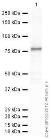Western blot - Recombinant Human GFAP protein (ab114149)