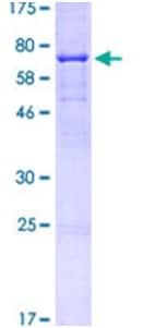 SDS-PAGE - Recombinant Human CD44 protein (ab114154)