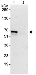 Immunoprecipitation - Anti-ZASC1 antibody (ab114971)