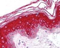 Immunohistochemistry (Formalin/PFA-fixed paraffin-embedded sections) - Anti-OP-2 antibody (ab115292)