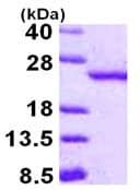 SDS-PAGE - Recombinant Human BOG protein (ab115718)