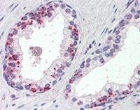 Immunohistochemistry (Formalin/PFA-fixed paraffin-embedded sections) - Anti-Annexin A1/ANXA1 antibody (ab115770)