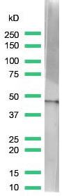 Western blot - Anti-beta Actin antibody [SP124] (ab115777)