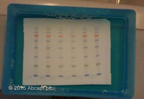 Western blot - Prestained Protein Ladder – Mid-range molecular weight (10 - 180 kDa) (ab116027)