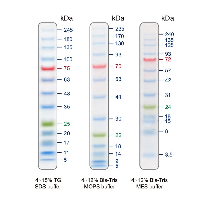 SDS-PAGE - Prestained Protein Ladder – Extra broad molecular weight (5 - 245 kDa) (ab116029)