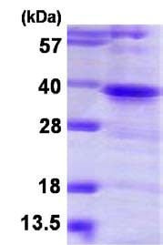 SDS-PAGE - Recombinant Human TWF1/Twinfilin-1 protein (ab116148)