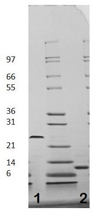 SDS-PAGE - Recombinant human TGF beta 1 protein (Active) (ab116150)
