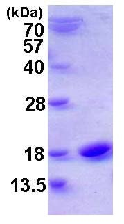 SDS-PAGE - Recombinant Human Cystatin SN/CST1 protein (ab116170)