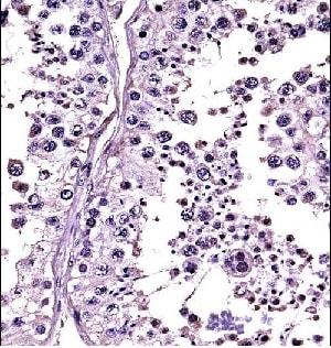 Immunohistochemistry (Formalin/PFA-fixed paraffin-embedded sections) - Anti-Relaxin 1 + 2 antibody (ab116292)