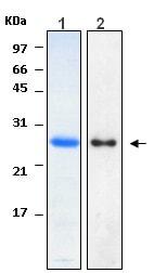 Western blot - Recombinant Human HN1 protein (ab116438)