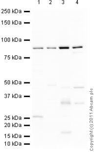Western blot - Anti-ABCB7 antibody (ab116606)