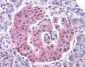 Immunohistochemistry (Formalin/PFA-fixed paraffin-embedded sections) - Anti-Kir6.2/BIR antibody (ab117079)